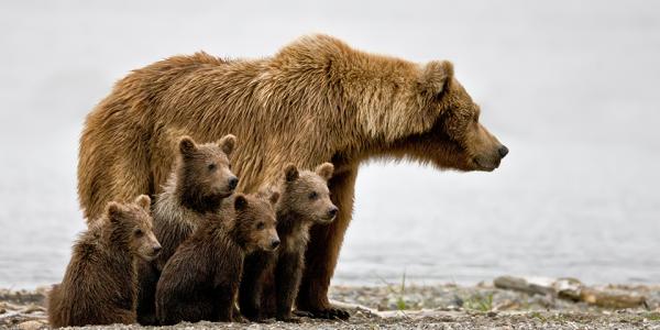 grizzley-bear_jim-chagares